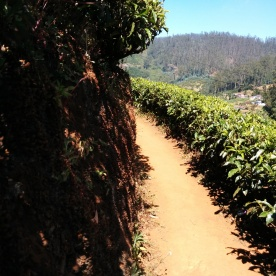 Winding tea walks